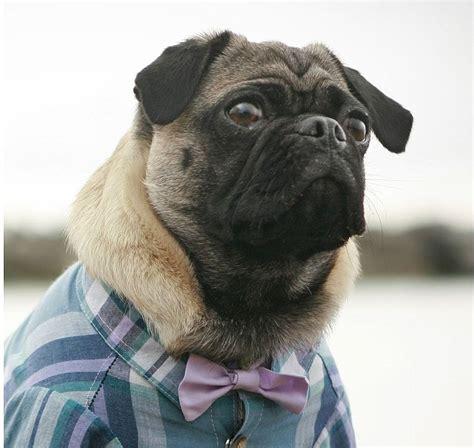 dog wedding bow tie dog shirt sold separately wedding