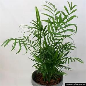 Zimmerpflanzen Pflege Tipps : bambuspalme chamaedorea microspadix zimmerpflanzen pflege ~ Lizthompson.info Haus und Dekorationen