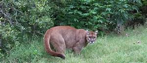 mountain lions of tips from a wildlife biologist