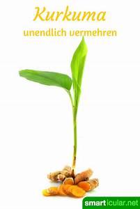 Kurkuma Pflanze Pflege : heilsames kurkuma selbst anbauen und vermehren ernten in der wohnung pinterest garten ~ Eleganceandgraceweddings.com Haus und Dekorationen