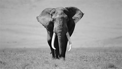 elephant black  white wallpaper phone wallpaper