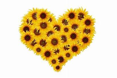 Sunflower Heart Hart Cuore Girasole Zonnebloem Tournesol