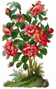 Rose Bush Clipart - Clipart Suggest