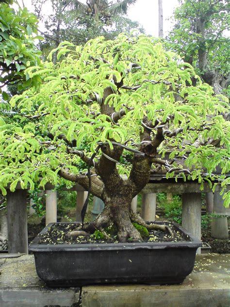 komunitas bonsai pasuruan