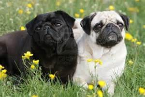 Black and Fawn Pug
