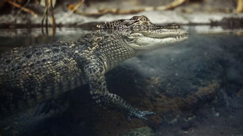 Alligator Wallpapers Images Photos Pictures Backgrounds