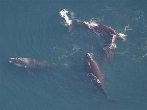 Are North Atlantic Right Whales Mating In The Gulf Of Maine