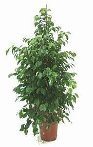 Ficus Benjamini Vermehren : plantas interior jardineria ficus de hoja peque a ficus ~ Lizthompson.info Haus und Dekorationen