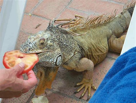 iguana pet about iguana iguana guide iguana tips october 2010