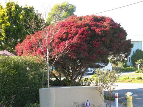 trees  santa cruz county leptospermum scoparium tea tree