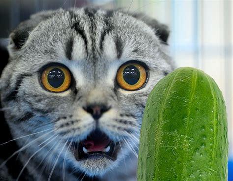 cats scared cat cucumbers why afraid gato cucumber kediler surprised gatto shutterstock animals kitty lustige stress schockiert experts neden korkar