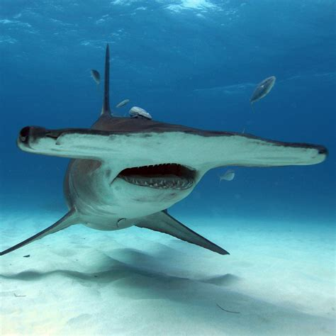 hammerhead sharks national geographic