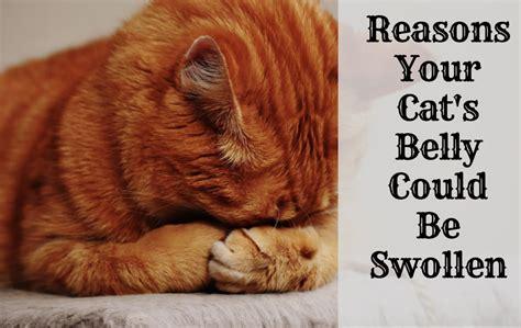 reasons   cat   swollen abdomen