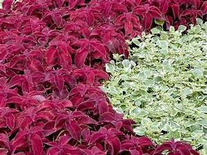 Kübelpflanzen Winterhart Schattig : bodendecker bl hend und immergr n ~ Michelbontemps.com Haus und Dekorationen