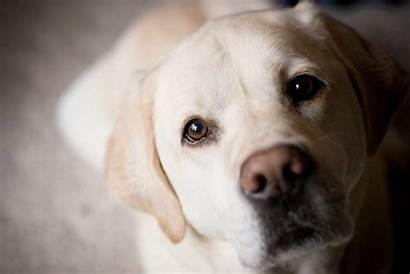 Labrador Wallpapers Dog Lab Retriever Yellow Golden