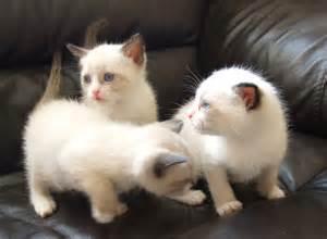 Snowshoe Siamese Cat