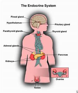 Endocrine System  Discover The Anatomy And Function Of