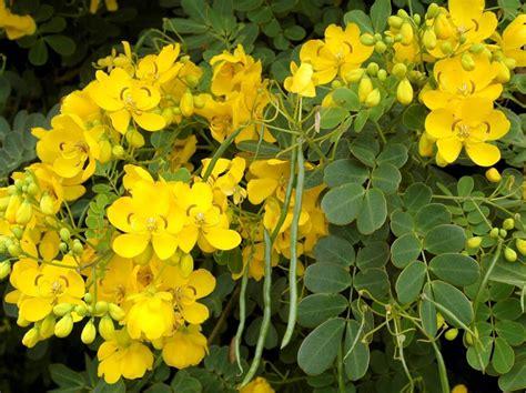cassia cinnamomum cassia antica farmacia erboristeria