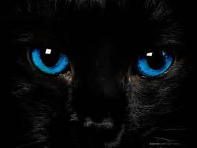 black cats with blue black cat with blue brown hairs
