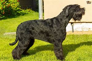 Full Grown Giant Schnoodle | www.pixshark.com - Images ...