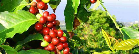 Km) coffee plantation located in the heart of the island of molokai. Info on Kona Coffee Tours, Macadamia Nut Factory & More
