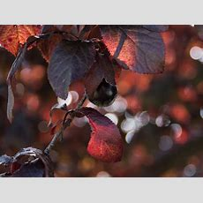 Plum In A Tree Dark Red Leaves Stock Photo  Image Of