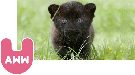 Cute Baby Black Panthers Youtube