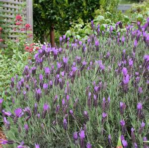 Lavender Plants for Ground Cover