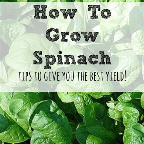 how to grow a garden how to grow spinach in your garden moms need to know