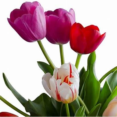 Tulips Transparent Flowers Tulipa Bouquets April