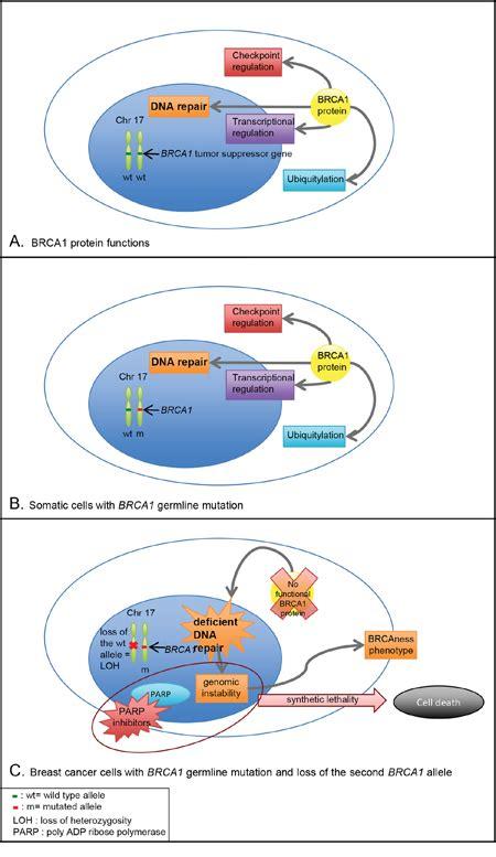 oncotarget  description   sporadic breast cancer