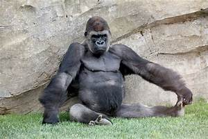 Angry Silverback Gorilla Fighting