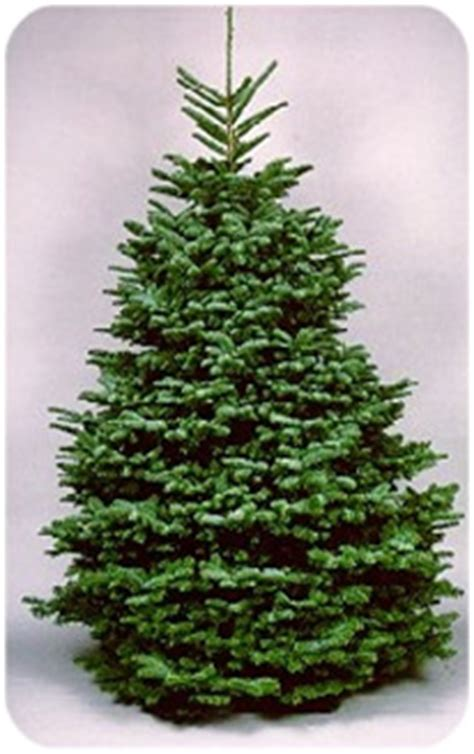 noble pine christmas tree harvey s harvest christmas trees 1514