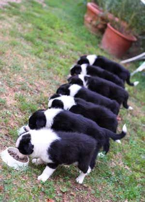 Do Collies Shed A Lot by Best 25 Border Collie Humor Ideas On Poor