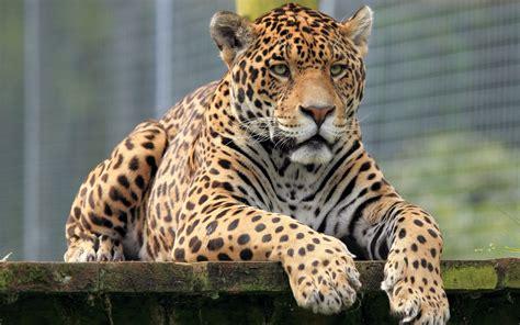Jaguar Animal Hd Wallpapers - jaguar hd wallpaper background image 2880x1800 id