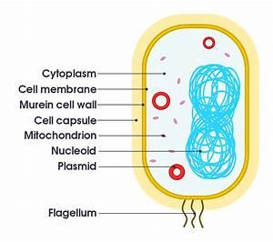 File:Simple diagram of bacterium (en).svg - Simple English ...