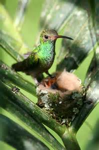 Hummingbird Nest and Babies