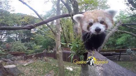 ingresso zoo di pistoia panda minore al giardino zoologico di pistoia