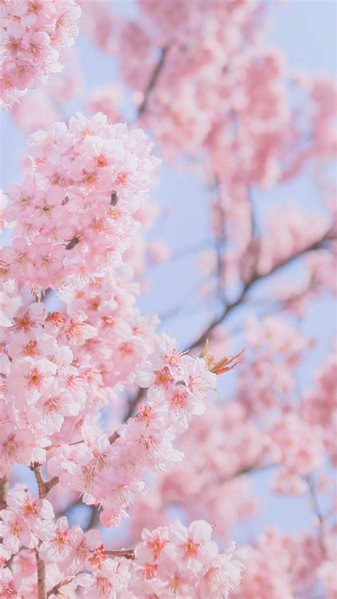 Download high quality pink backgrounds for your mobile, desktop or website from our stunning collection. Aesthetic Pink Blossom Wallpapers - Wallpaper Cave