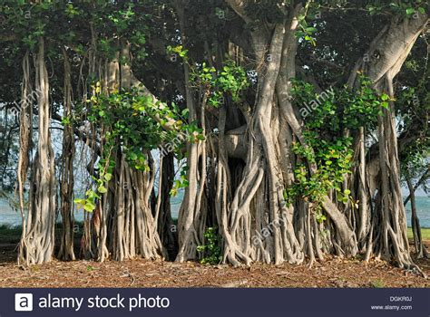 gummibaum im freien aerial roots of banyan tree ficus benghalensis geoffrey bay stock photo 61900738 alamy