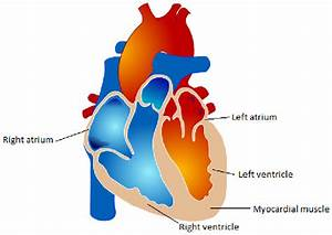 Atria And Ventricles Of The Heart