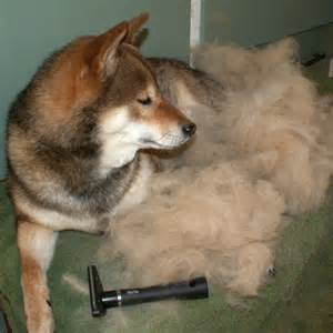 how to manage the shedding shiba inu