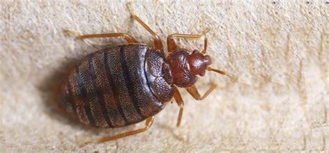 Bed Bug Exterminator Prices by How Much Does Bed Bug Extermination Cost