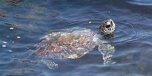 How Can I See a Sea Turtle? - Padre Island National ...