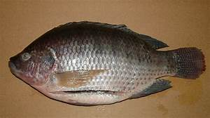 Tilapia Fish In Water