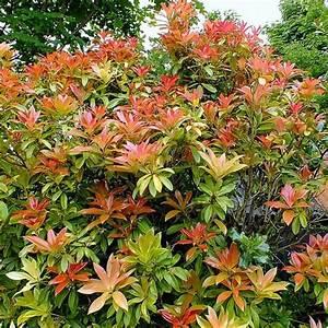 Arbuste Persistant Croissance Rapide : best 20 arbuste feuillage persistant ideas on pinterest ~ Premium-room.com Idées de Décoration