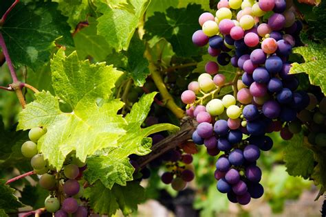 picture of grapes on a vine grapevine blessing of the vines new vintage wine and gallery trail delaney vineyards at