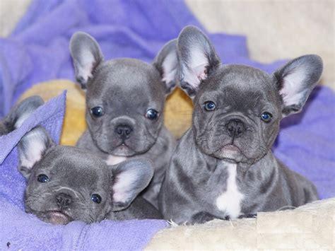 hunde rassehunde franzoesische bulldogge tieranzeigen