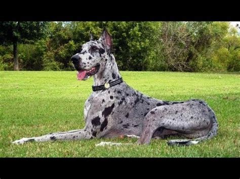 great dane colors 8 different great dane colors and patterns