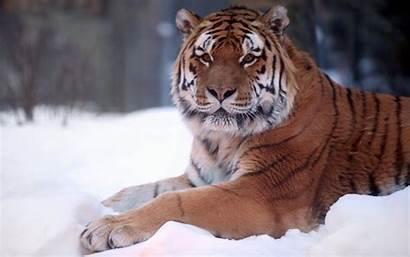 Animals Wild Tiger Snow Wallpapers Leopard Animal